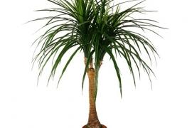 Palmipuu PL5