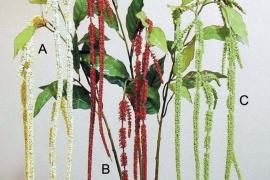 Celosia h 73cm