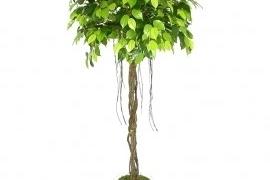 Ficus DL6